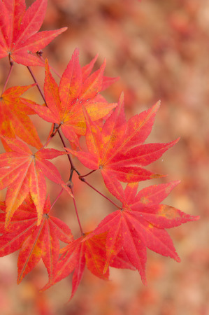 acer: Red leaves on a Korean maple tree (Acer pseudosieboldianum) in autumn.