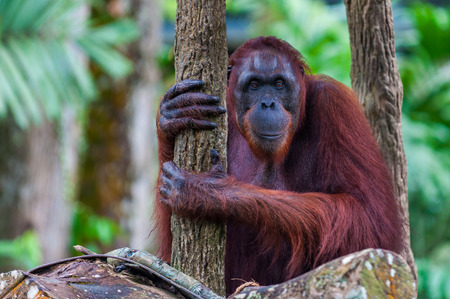 orang: A Bornean orangutan  sits among the trees. Stock Photo