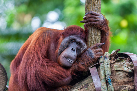 tree dweller: A Bornean orangutan rests among the trees. Stock Photo
