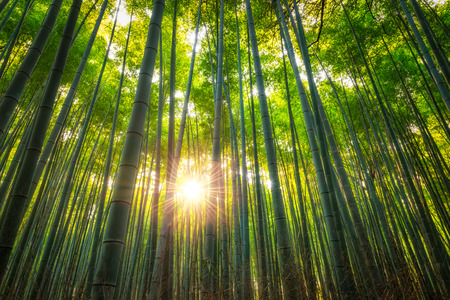 The Arashiyama Bamboo Grove of Kyoto, Japan.