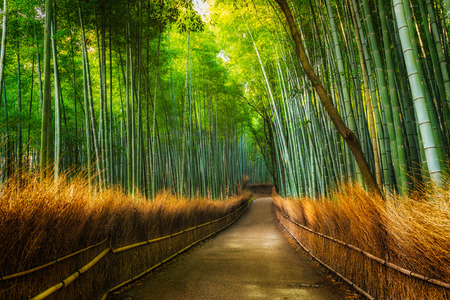 bambu: El Arashiyama Bamboo Grove de Kyoto, Japón.