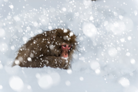 An adult snow monkey forages for food in the snow at Jigokudani Monkey Park in Japan. Stock Photo
