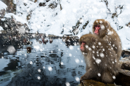 A pair of snow monkeys sit on the edge of a hotspring at Jigokudani Monkey Park in Nagano Prefecture, Japan.
