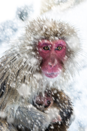 clutches: A mother snow monkey clutches her baby in a snowstorm at Jigokudani Monkey Park in Japan. Stock Photo