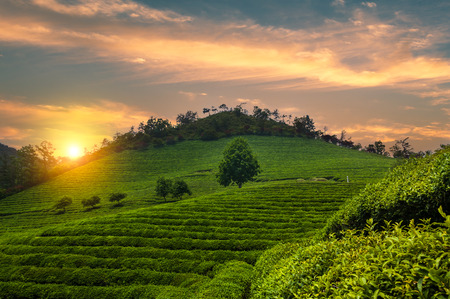 korean culture: The Boseong tea fields of South Korea at sunset.