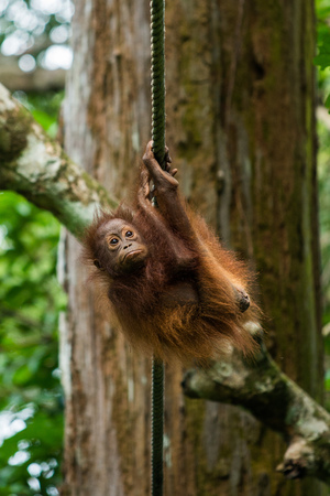 pongo: A baby orangutan hangs from a rope at a wildlife sanctuary in Malaysian Borneo.
