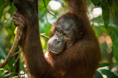 pongo: An adult female orangutan swings among the trees at a wildlife sanctuary in Malaysian Borneo.