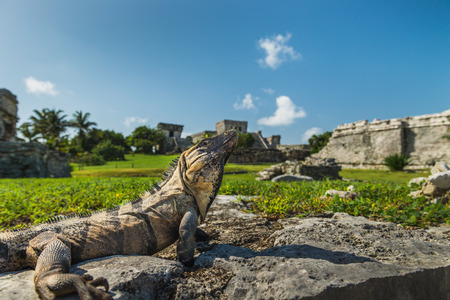 tulum: An iguana basks in the sunlight on the ancient ruins of Tulum, Mexico. Stock Photo