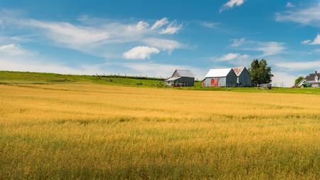 canada agriculture: Wheat fields in New Brunswick, Canada.