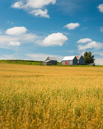 crop harvest: Wheat fields in New Brunswick, Canada.