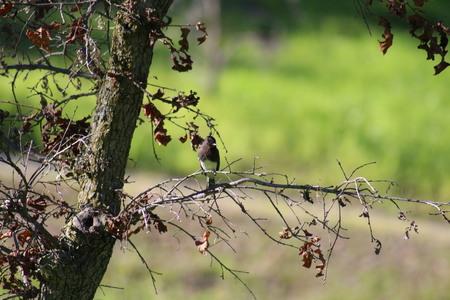 tyrant: Black Phoebe Tyrant Fly Catcher On Tree Branch