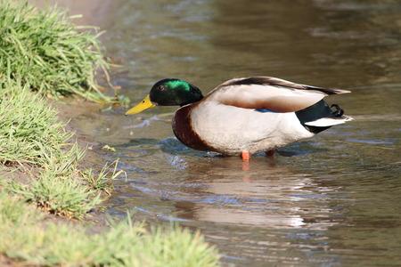 shorelines: Male Mallard Duck At Lake Shoreline