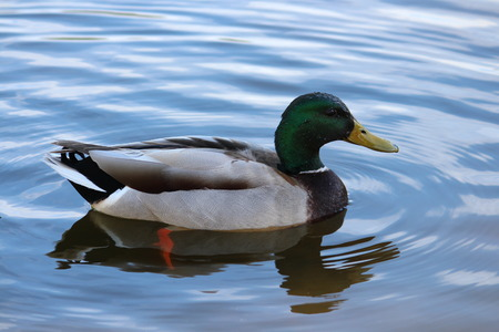 Male Mallard Duck Floating Peacefully