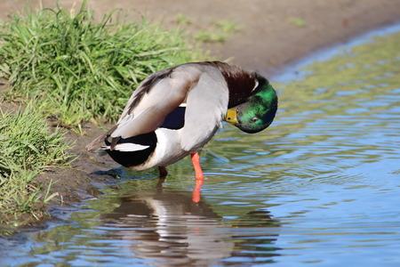 male grooming: Male Mallard Duck Grooming Self At Lake Shoreline