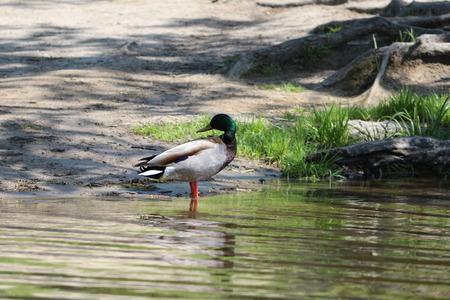 pato real: Situaci�n masculina del pato del pato silvestre Foto de archivo