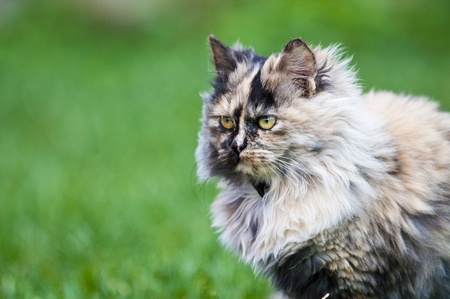persian green: persian cat on green grass Stock Photo
