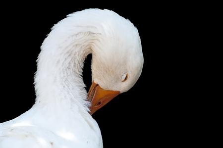 black backgound: White goose, isolated on black backgound Stock Photo