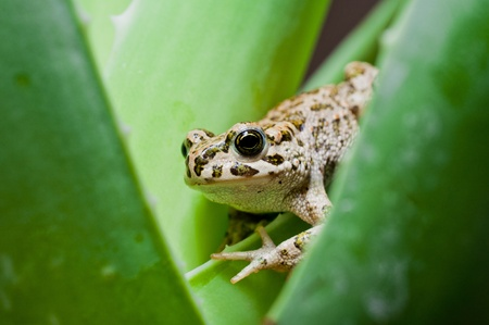part frog: frog on the aloe leaf Stock Photo