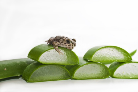 part frog: Still life photograph of a leaf of Aloe Vera.