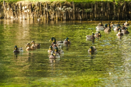 Many ducks swims on the water of a pond photo