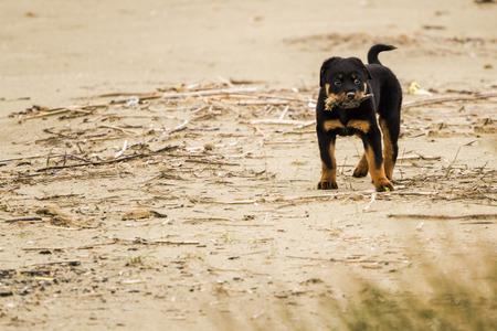 portrait of a purebred puppy rottweiler photo
