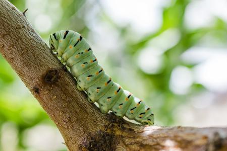machaon: Papilio machaon caterpillar wilein nature