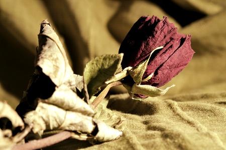 dode bladeren: gedroogde roos in licht groene achtergrond Stockfoto