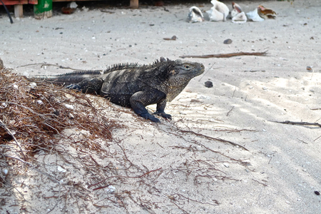 white sand: Iguana on white sand, Cuba
