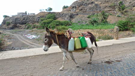 santiago cape verde: Lovely donkey carrying plastic cans, Santiago Island, Cape Verde