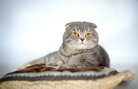 lop eared: Cat Scottish Fold Stock Photo