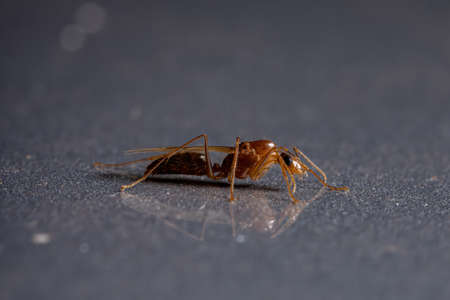 Carpenter Ant of the Genus Camponotus Stock Photo
