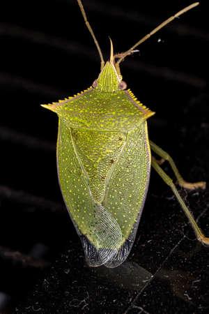 Stink Bug of the genus Loxa
