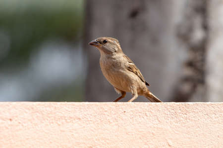 House Sparrow of the species Passer domesticus