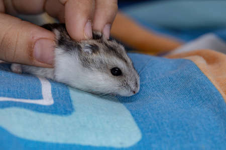 Campbell's dwarf hamster of the species Phodopus campbelli Zdjęcie Seryjne
