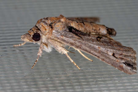 Euteliid Moth of the Family Euteliidae Reklamní fotografie