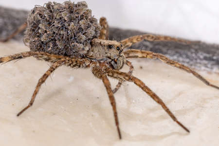Wolf spider of the family Lycosidae carrying the young in the abdomen