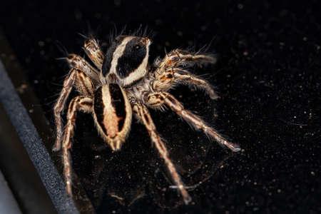 Jumping Spider of the species Plexippus paykulli Stockfoto