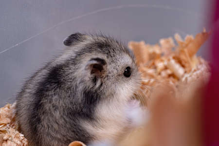 Campbell's dwarf hamster of the species Phodopus campbelli Imagens