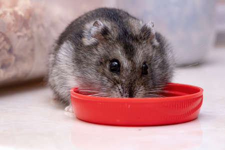 Campbell's dwarf hamster of the species Phodopus campbelli Stockfoto