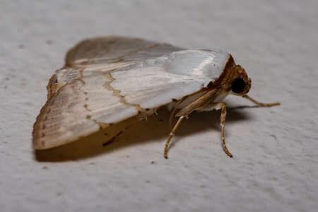 Underwing moth of the genus Eulepidotis Standard-Bild