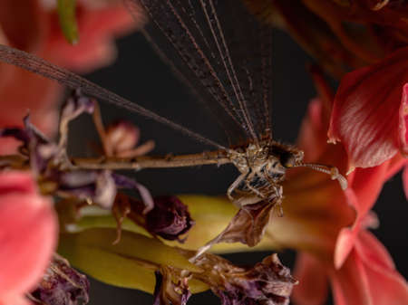 Insect Antlion of the Family Myrmeleontidae in a flowering plant