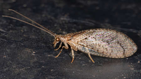 Brown Lacewing of the Family Hemerobiidae Stock Photo