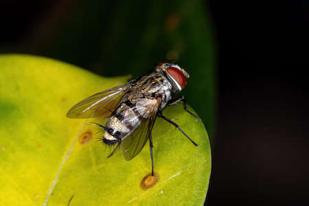 Satellite Fly of the Subfamily Miltogramminae Zdjęcie Seryjne