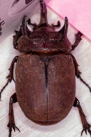 Brazilian Rhinoceros Beetle of the species Coelosis bicornis