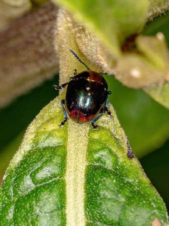 Leaf Beetle of the Subfamily Eumolpinae