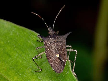 Stink Bug of the species Proxys albopunctulatus
