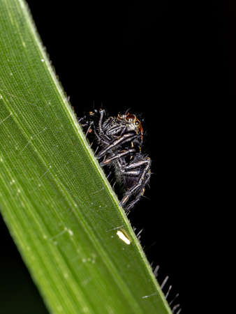 Jumping spider of the Genus Phiale