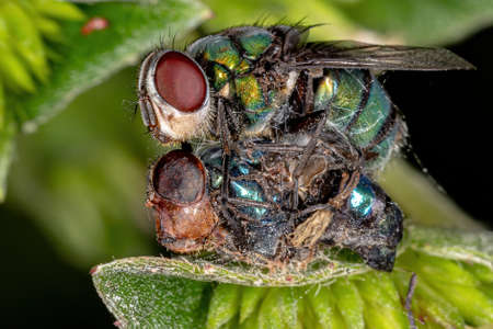 Dead Blow Fly of the Family Calliphoridae Zdjęcie Seryjne