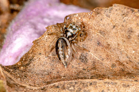 Jumping spider of the Subtribe Freyina