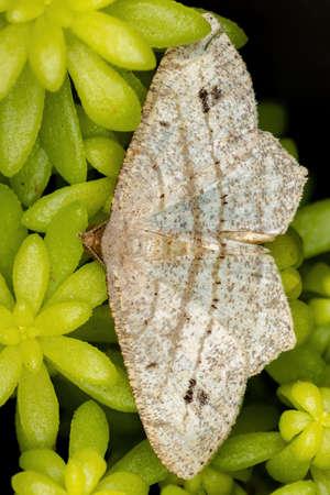 Geometer Moth of the Family Geometridae 版權商用圖片